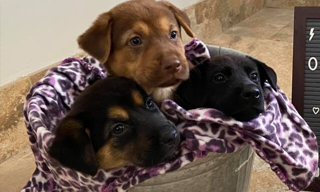 Three cute puppies in a blanket