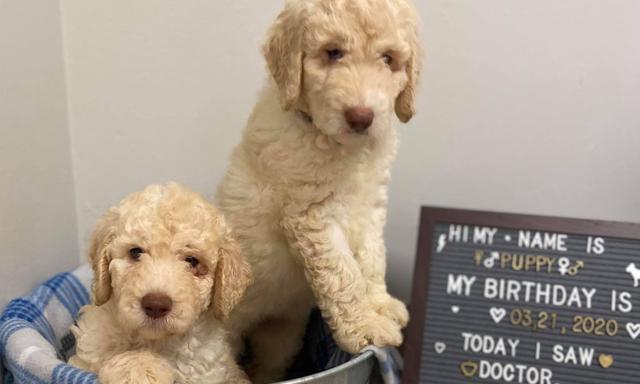 Pair of cute puppies in metal bucket with blanket