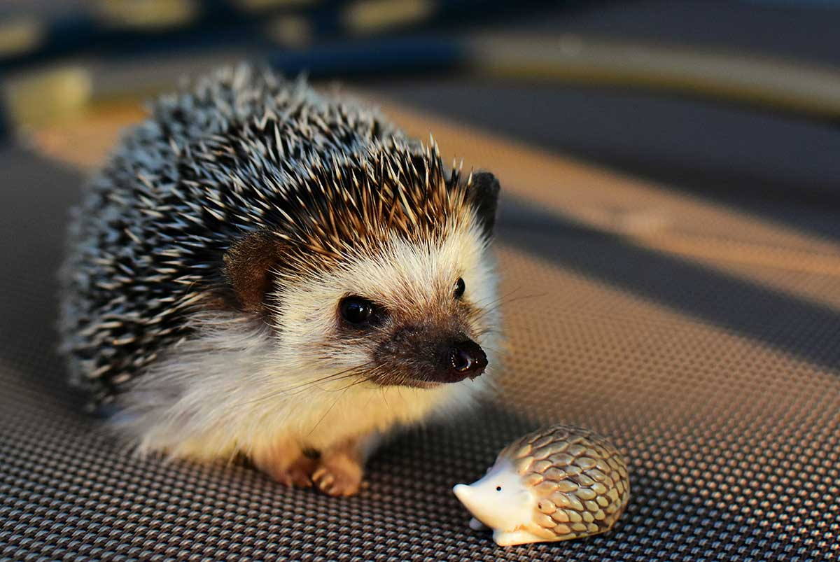 A hedgehog patient